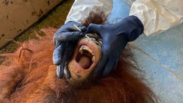 testing-times-orangutans-get-covid-swabs-in-malaysia