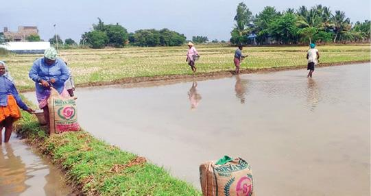 samba-cultivation-in-delta-districts