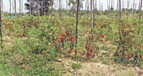 tomato-rotting-in-krishnagiri-gardens