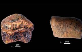 new-species-of-hybodont-shark-from-jurassics-of-jaisalmer