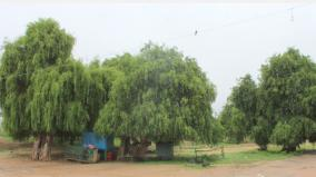 naturally-growing-ugai-trees-in-ramanathapuram-which-is-notorious-for-drought-medicinal-properties