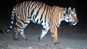 t-23-tiger-caught-by-forest-department