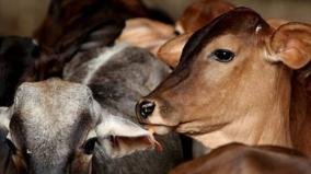 cattle-vaccination-camp-postponed