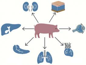 does-the-animal-organ-fit-into-the-human